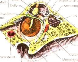 anatomia orecchio interno anatomia orecchio medio