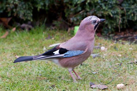 birding uk and ireland forum goldmaxx s album frodsham birding uk and ireland forum fergie s album my garden