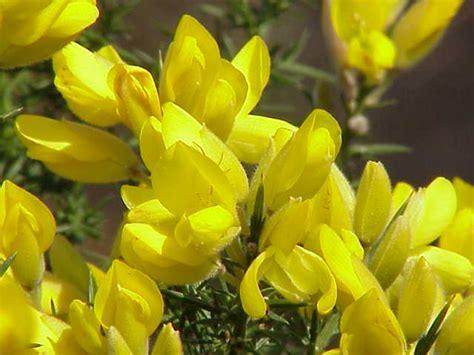 gorse fiori di bach agrimony archives hibler