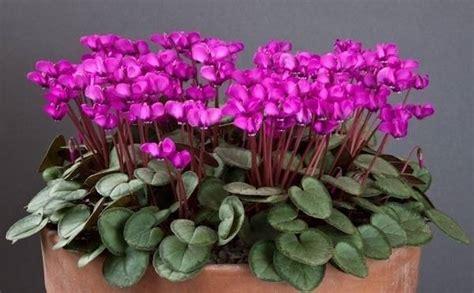 linguaggio dei fiori ciclamino ciclamino piante appartamento piante da appartamento