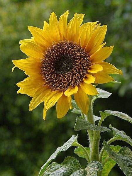 tanaman obat bunga matahari helianthus annuus linn