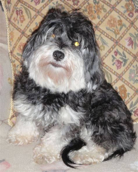 havanese diseases 138 best images about havanese dogs on