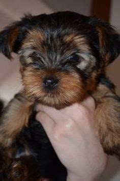 how much is a purebred yorkie yorkie teacup yorkie and yorkie puppy on