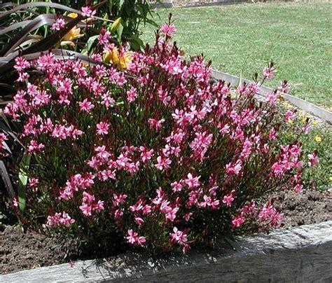 potatura piante da giardino gaura lindheimeri piante da giardino fiore gaura