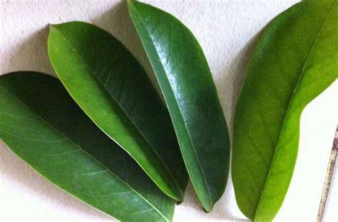 memilih daun sirsak  cocok  bahan baku herbal
