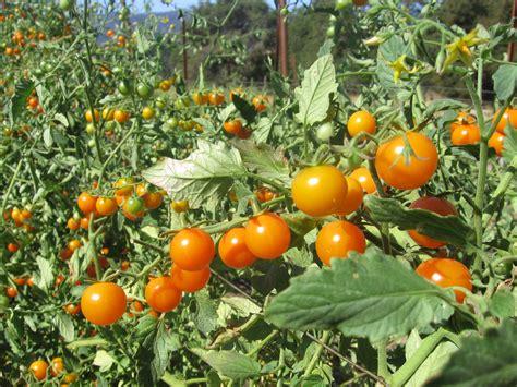 tomatoes mendocino meats