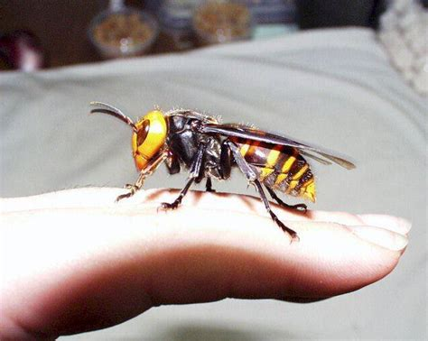 imagenes avispa japonesa asian giant hornet pictures diet breeding life cycle