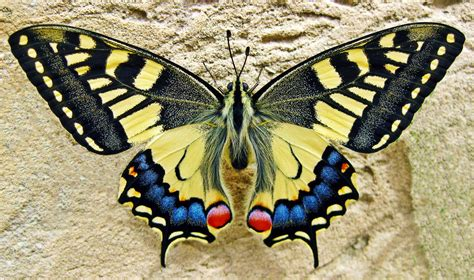 butterflies images swallowtail butterfly free stock photo domain