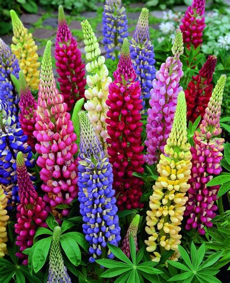 lupine color lupine mixed colors quot lupinus hybridus