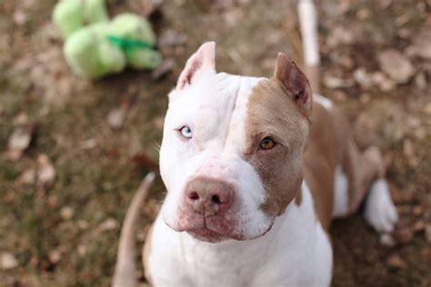 white and brown pitbull puppy elmo edmonton area pitbull rescue pitbulls for foundation of alberta