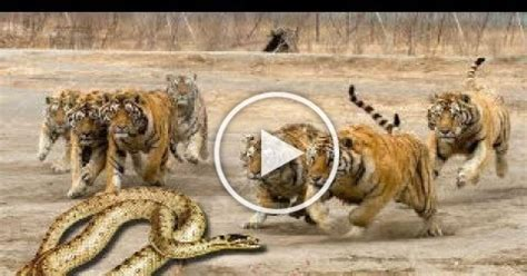 video tiger  python real fight snake leopard wild boar lion hippo animal attacks