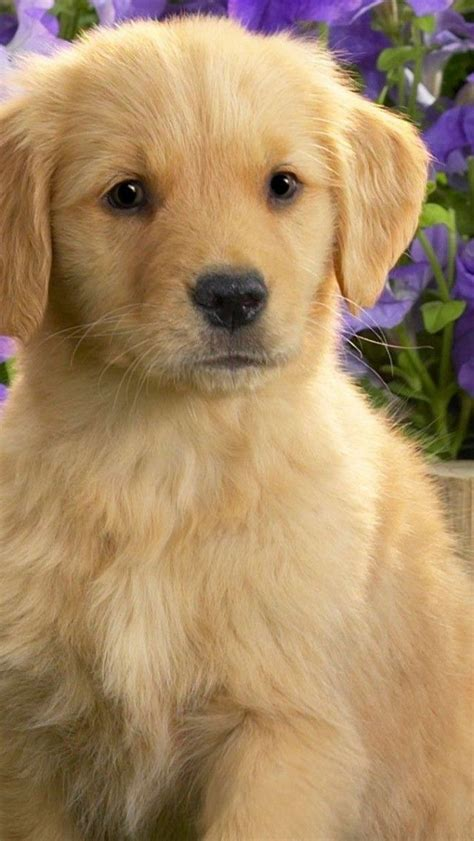 cutest golden retriever in the world 119 best images about puppies on shiba inu puppies puppies and
