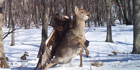 eagle attacking deer  russia caught  camera