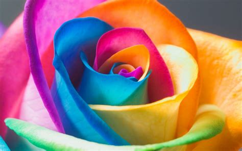 colorful rose wallpaper download rainbow flower wallpaper wallpapersafari