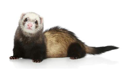 nyc ban on keeping ferrets as pets stays health board