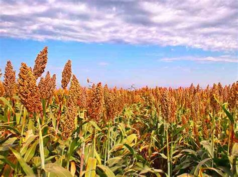 feeding sorghum seed to poultry may result in more females