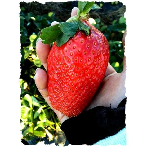 Benih Bibit Seed Ciplukan Jumbo Cecendet amefurashi bibit benih seeds fruit strawberry biji buah strawberi besar shopee indonesia