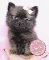 yorkie pom for sale pomeranian puppy teacup yorkie puppies for sale at teacups puppies and boutique
