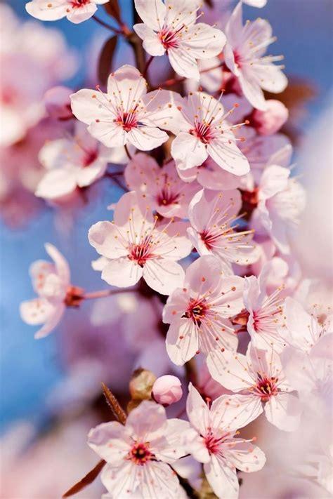 fiori di ciliegio giapponesi oltre 25 fantastiche idee su fiori di ciliegio giapponesi