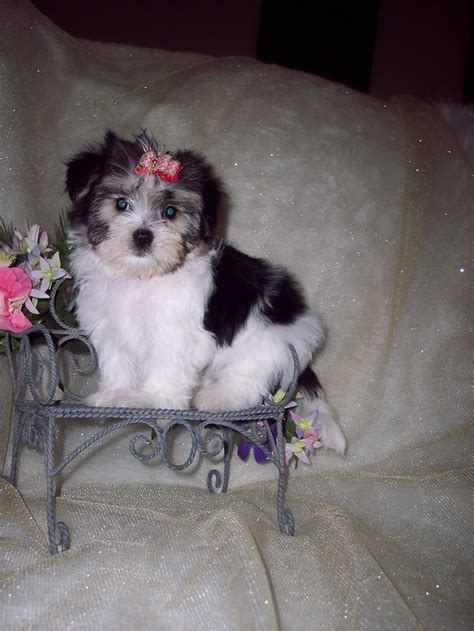 what age do yorkies change color available morkie puppies my baby yorkie paws