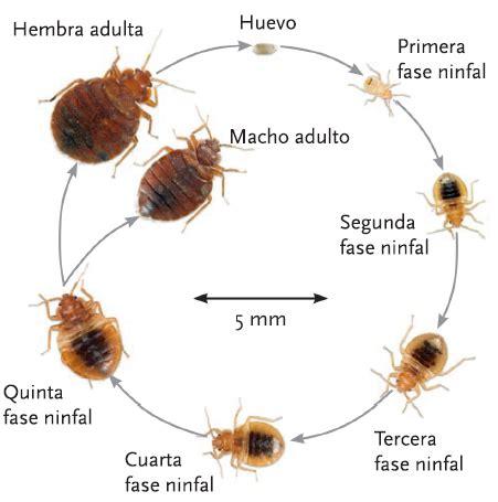 insectos de cama los chinches de la cama un insecto muy especial biopyc