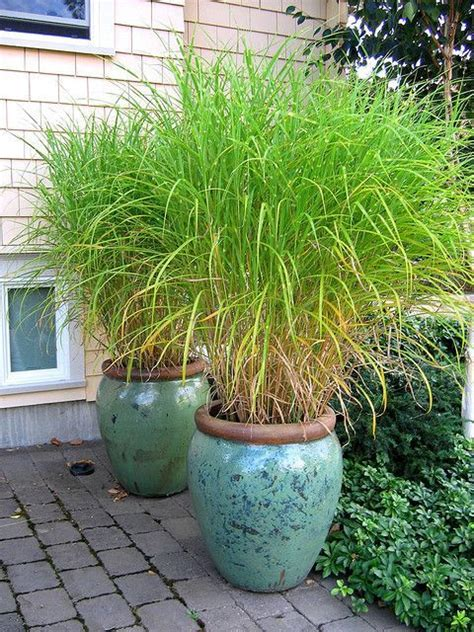 Lemon Grass In Planters by Pin By Curtis Shandy Clark On Yard