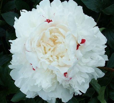 Maxiinner Peony picture of festiva maxima peony gardenality