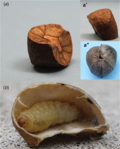 Jumping Beans mexican jumping beans may influence robot design w
