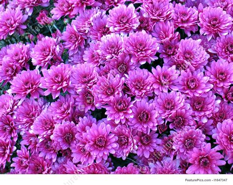 bed of flowers flowers bed of pink dahlia flowers stock picture