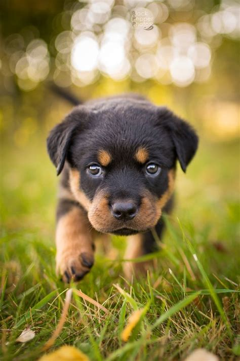baby rottweiler puppies 25 best ideas about rottweiler puppies on baby rottweiler rottweiler