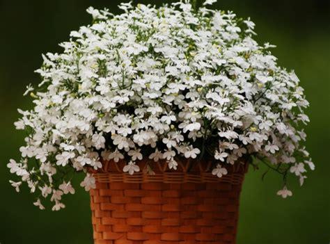 Balkonpflanzen Pflegeleicht Winterhart by Pflegeleichte Balkonpflanzen Den Balkon Leicht Und Schnell