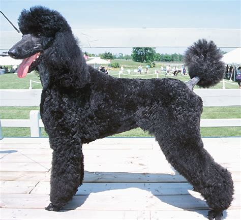 are poodles dogs pictures black poodle dogs