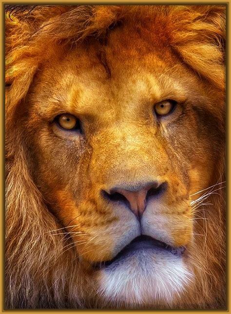 imagenes leones rugiendo imagenes de leones salvajes rugiendo archivos imagenes