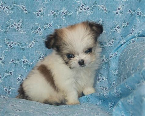 malchi puppies for sale adorable malchi puppies puppyindex