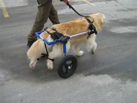 dogs back legs not working walks in a walkin wheels wheelchair for the time in months