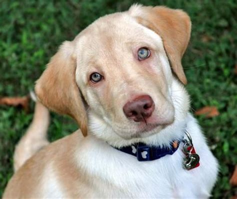 are labs and golden retrievers the same 18 best dudley labs images on dogs footprint and health