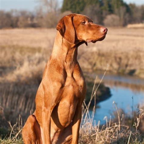 vizsla puppy goldenacresdogscom