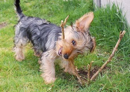 history of large yorkshire terriers with floppy ears 47 best youthful yorkies images on pinterest puppies