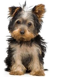 best food for picky yorkie 1000 images about best food for yorkies on best food yorkies and