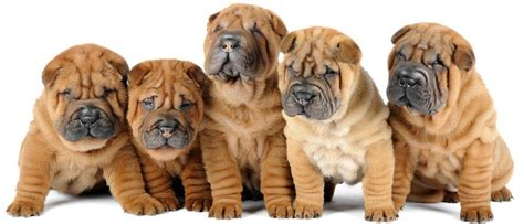 shar pei puppy price shar pei puppies tips for new owners shar pei zone
