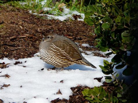 the california quail callipepla californica