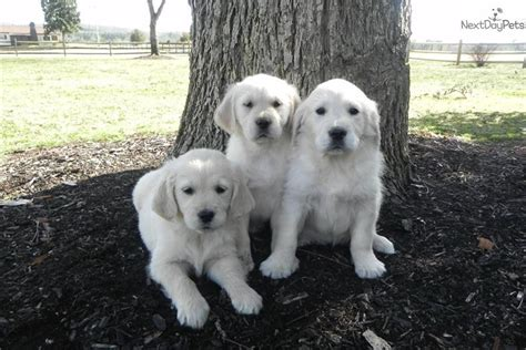 dew claws golden retriever golden retriever puppy for sale near greenville upstate south carolina 7ee66a59 5951