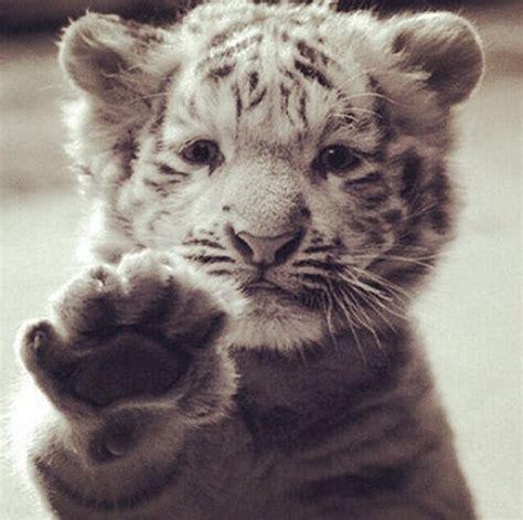imagenes de tigres kawaii tigre de bengala bebe patita ojitos trigre pinterest