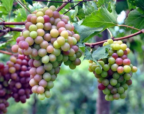 Pupuk Untuk Bunga Agar Subur cara unik membuat tanaman buah cepat berbuah lebat