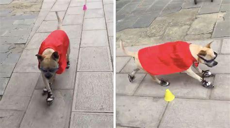 roller skating dog  blow