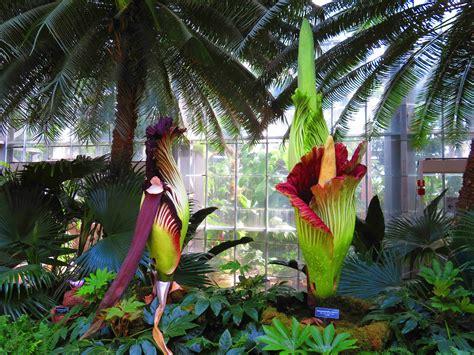 Us Botanic Garden Corpse Flower by Corpse Flowers Are Blooming In Washington Dc S Botanic Garden