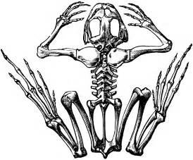frog skeleton clipart etc