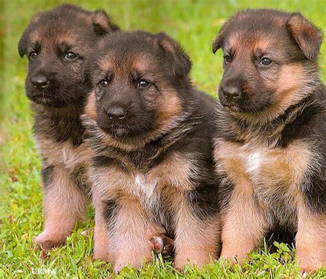 lsn dogs german shepherd