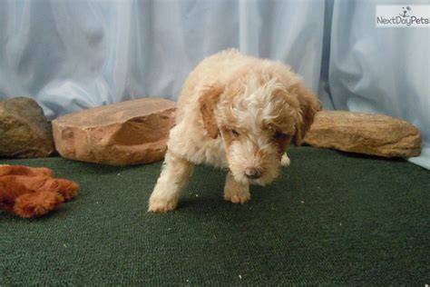 aussiedoodle puppies for sale michigan aussiedoodle puppy for sale near arbor michigan