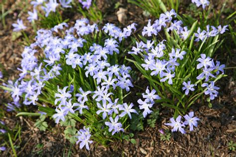 Id 82 Blue Flower buy siberian squill bulbs scilla siberica delivery by